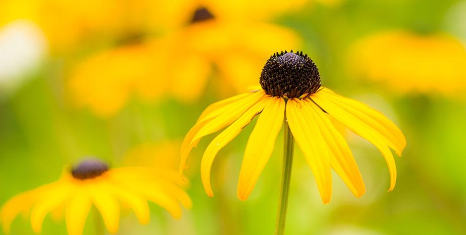 Daisy Flowers in the North Charleston Neighborhood of Summerville
