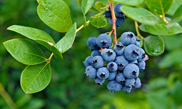 blueberries plant sale